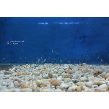 Live tropical mysis americamysis bahia feed 100x