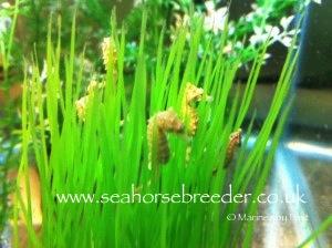 Seahorses For Sale - Seahorse Breeder